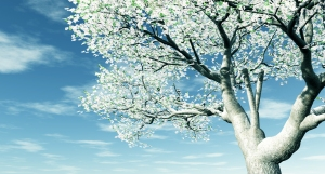 cherrytreeblossoming